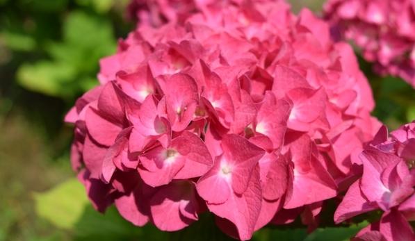 花言葉 元気 健康 ピンクの紫陽花