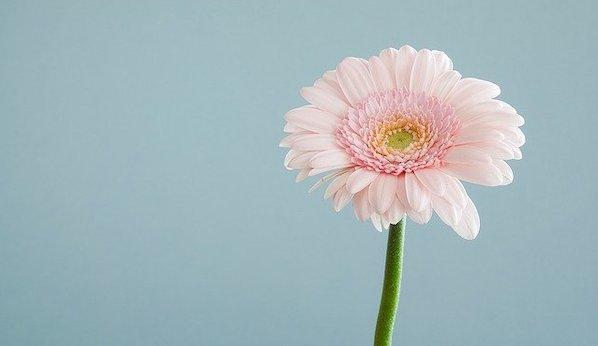 感謝 花言葉 ピンクのガーベラ