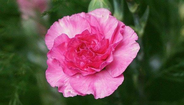 感謝 花言葉 ピンクのカーネーション