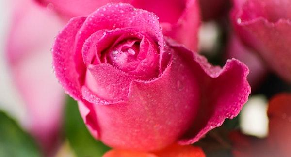 感謝 花言葉 ピンクのバラ
