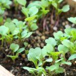ルッコラ 栽培