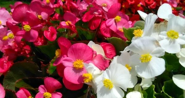 花言葉 幸せ ベゴニア