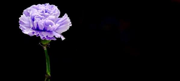 花言葉 幸せ 青いカーネーション