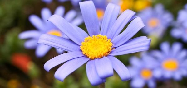 花言葉 幸せ ブルーデイジー