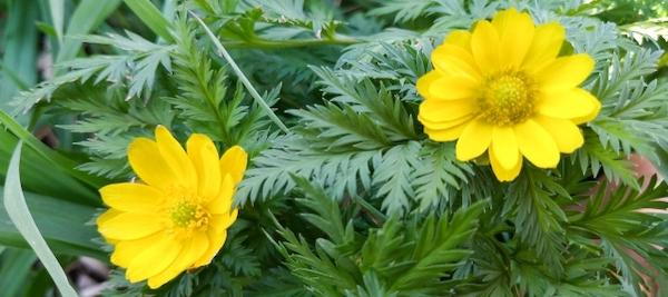 花言葉 幸せ 福寿草
