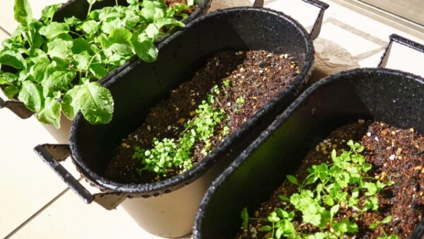 秋植え野菜 プランター